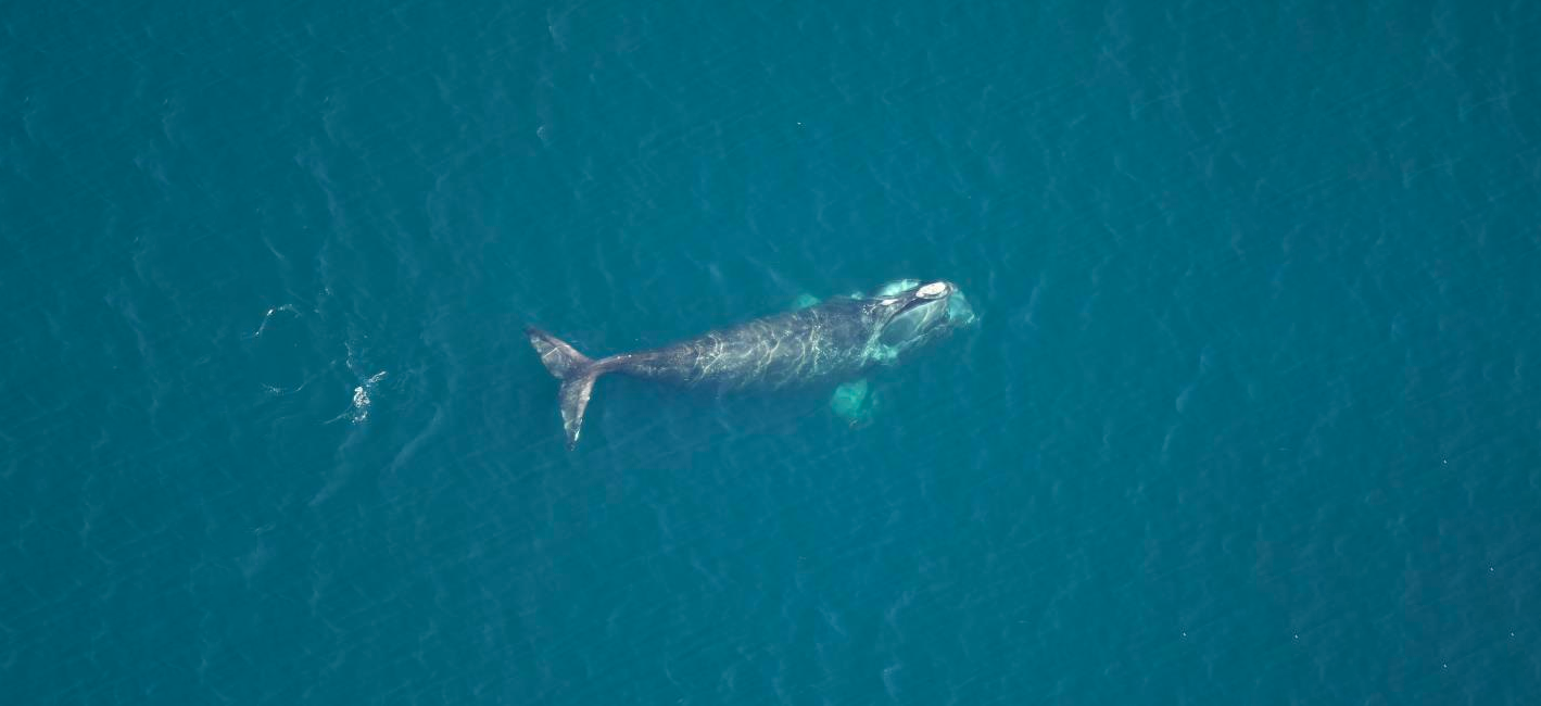 Right Whale Catalog3421