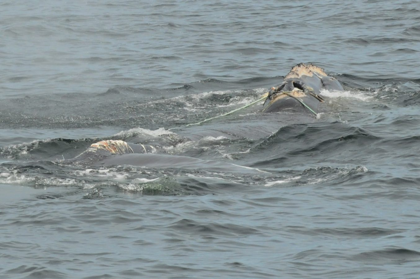 Multiple wraps of rope cross the head of North Atlantic right whale #3125