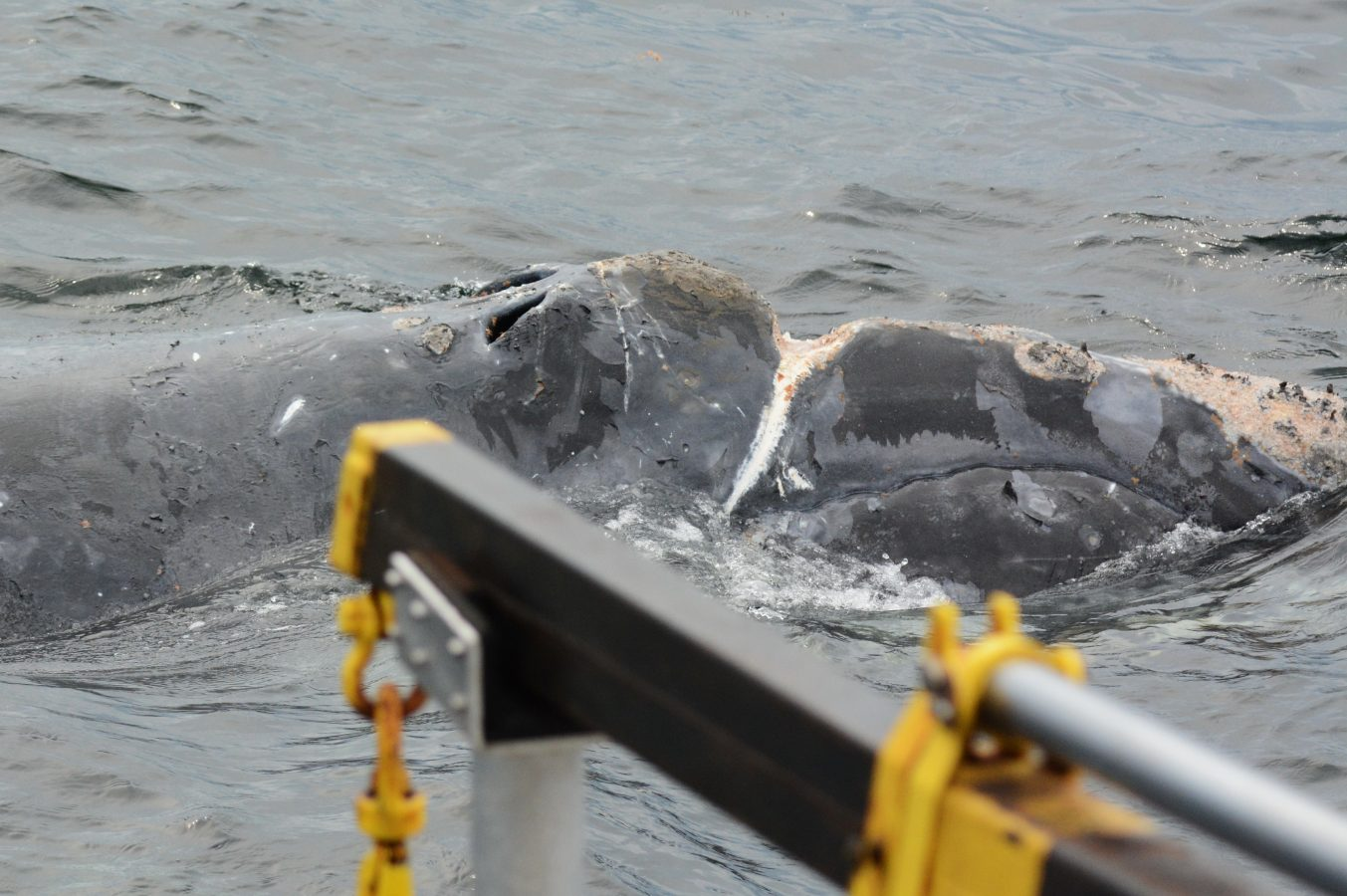 Deep wound on North Atlantic right whale #4601 from fishing gear entanglement.