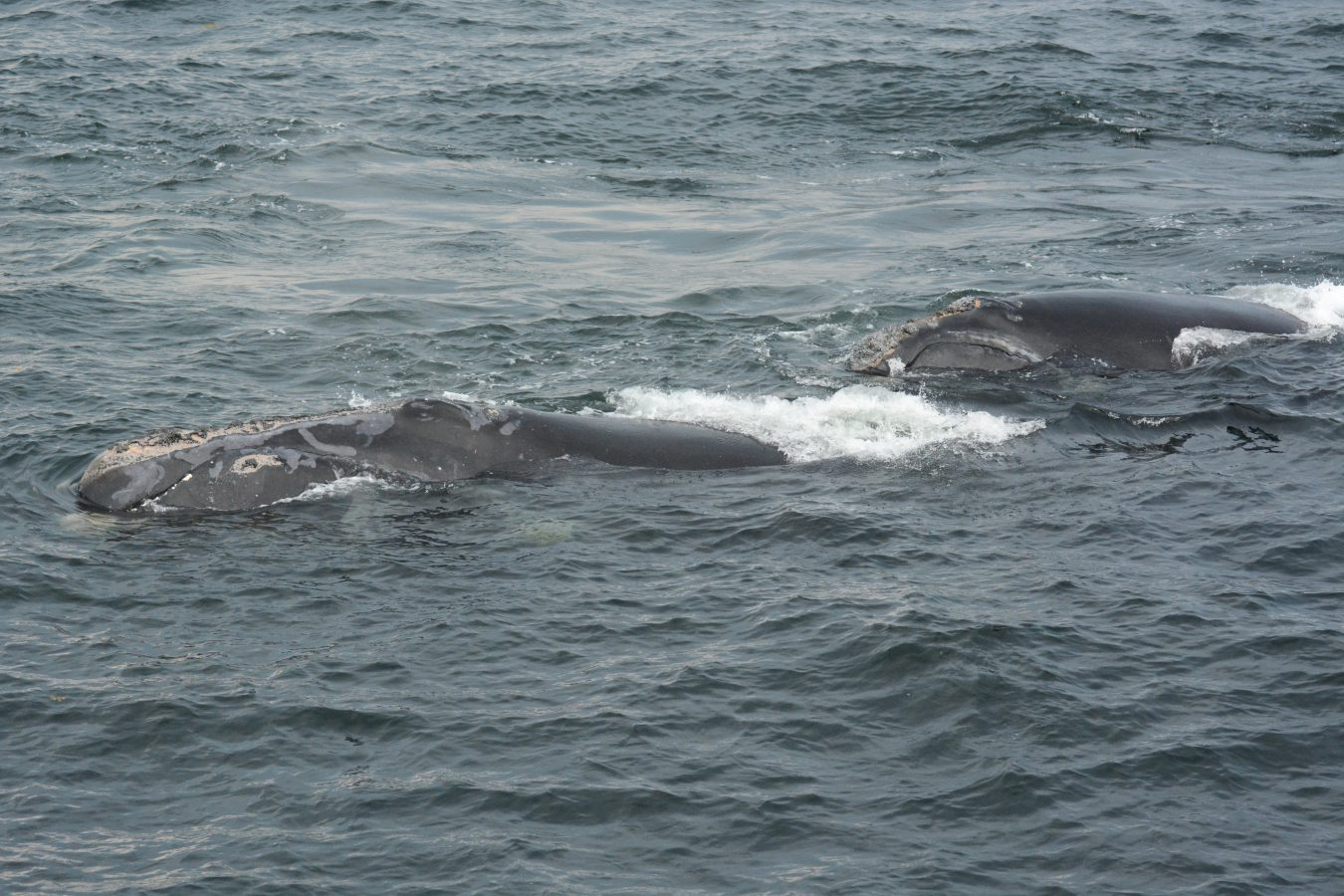 North Atlantic right whale Mom #2791 and her calf.