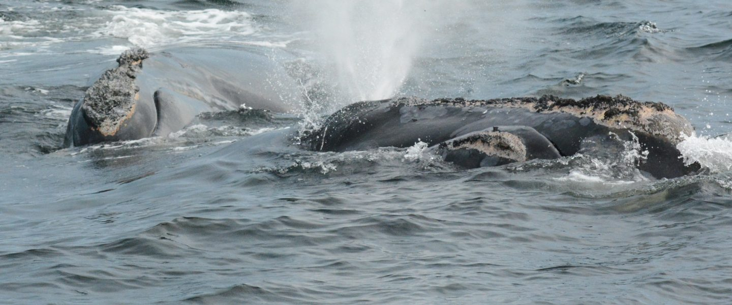 North Atlantic right whale mom and her calf