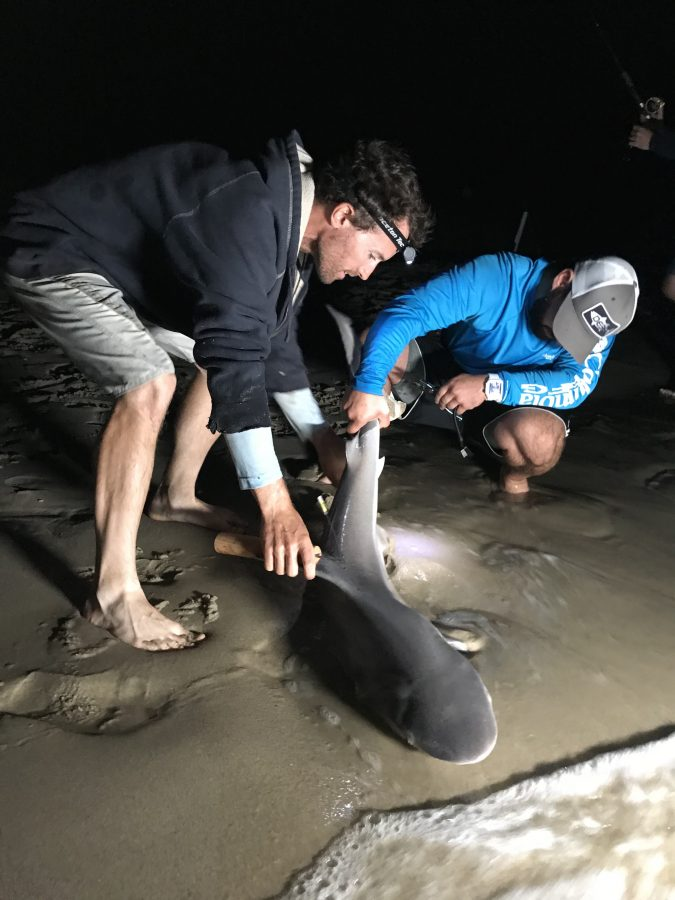 Dr. Jeff Kneebone helps a recreational angler determine the sex of a sandbar shark caught from the beach. Photo Credit: Dr. Nick Whitney, New England Aquarium.