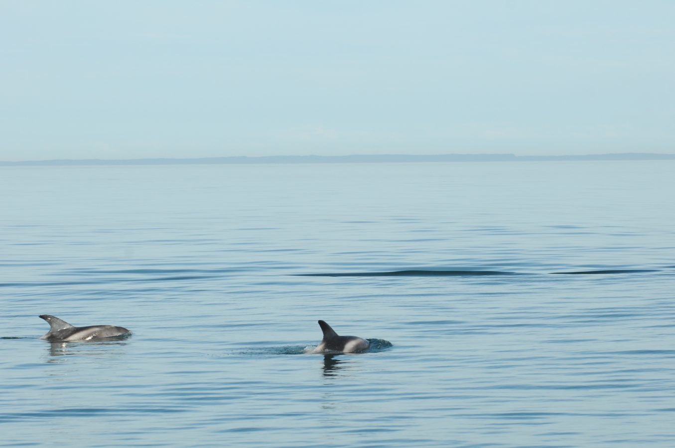 A rare sighting of white-beaked dolphins in the Bay of Fundy.