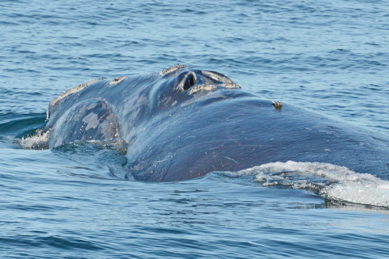 A limpet tag is attached to North Atlantic right whale #1419