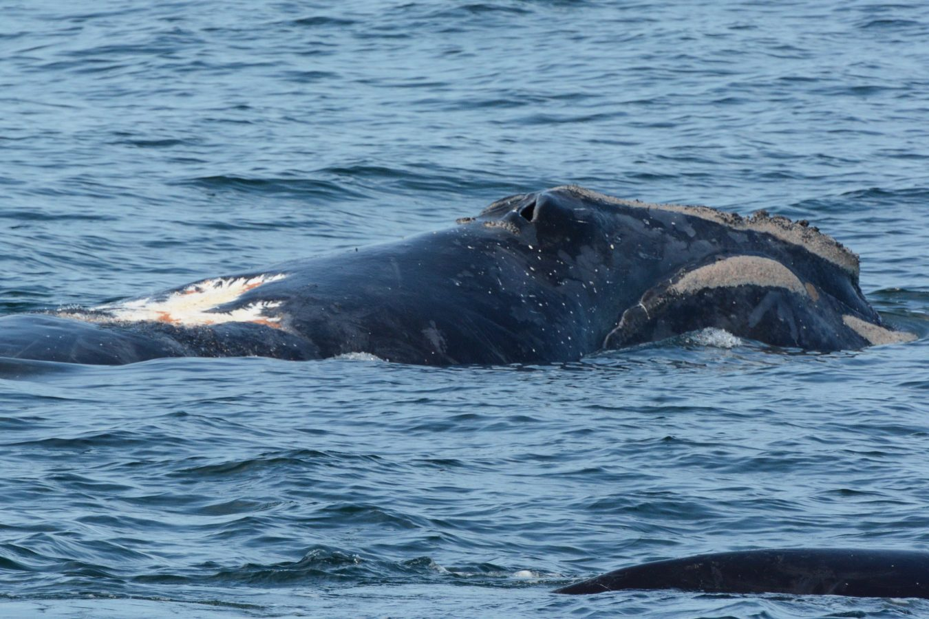 North Atlantic right whale Sirius with a wound on its back