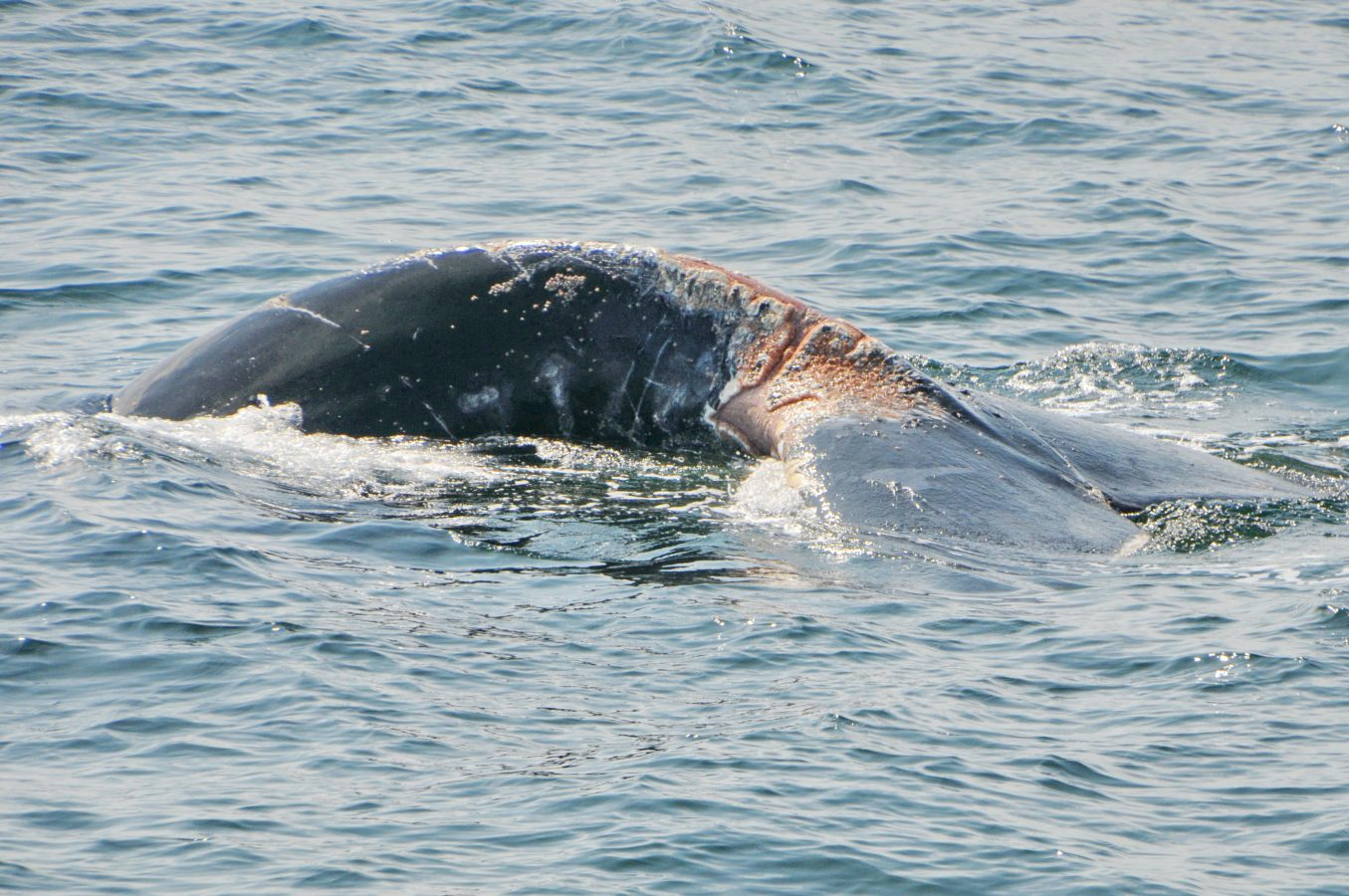 Open wounds on North Atlantic right whale #4440