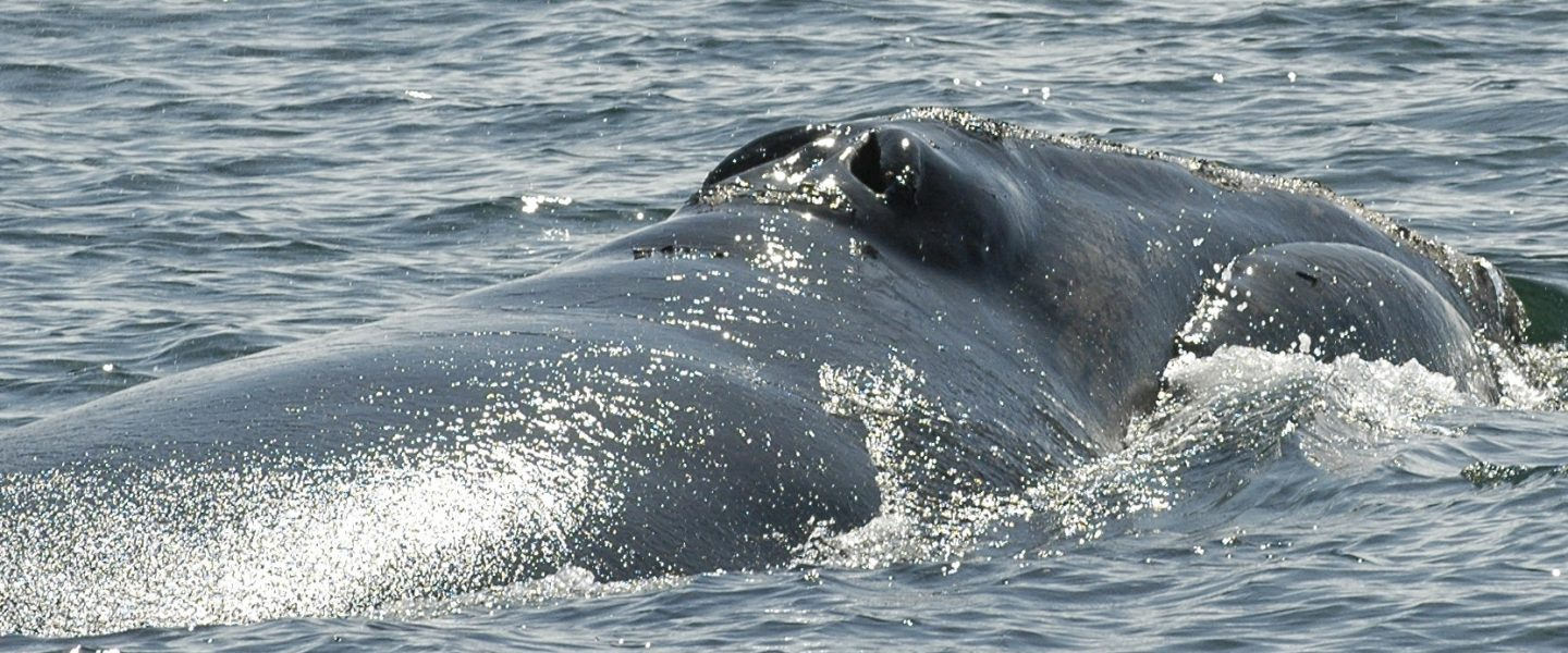 Snake Eyes the North Atlantic right whale