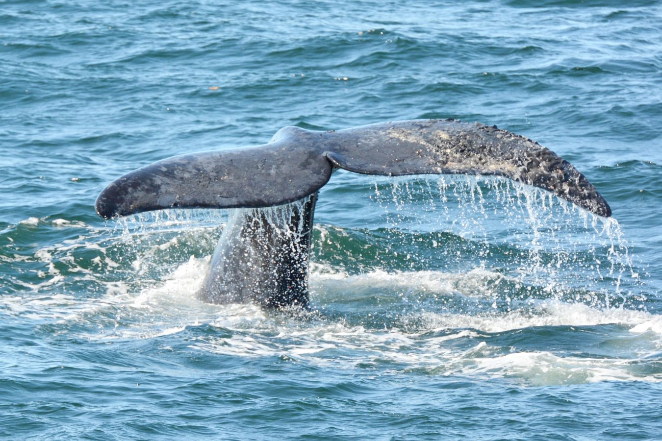 Rough and mottle skin is seen the fluke of a North Atlantic right whale.