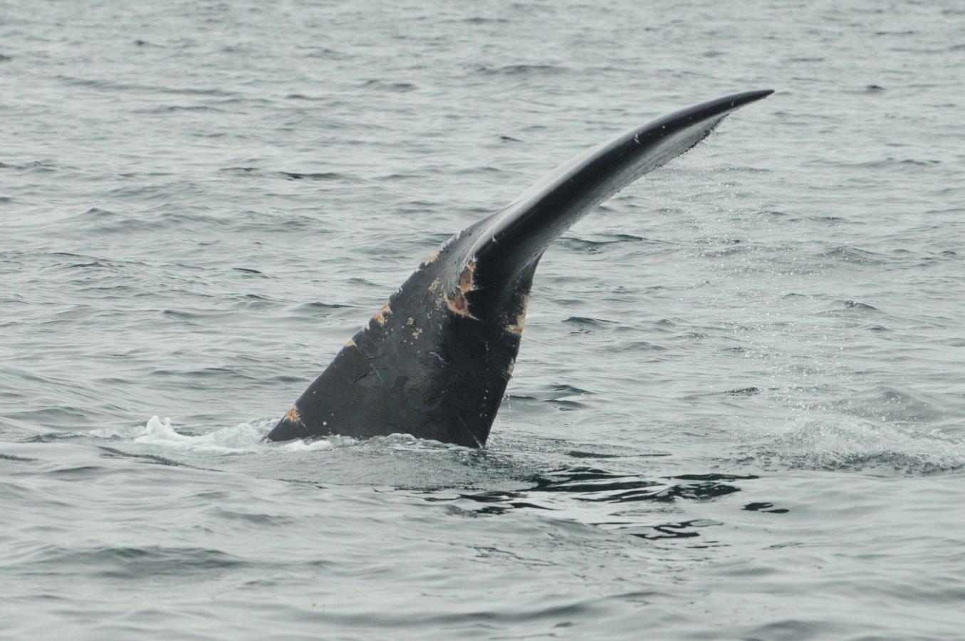 New wounds from fishing gear entanglement are visible on a North Atlantic right whale.