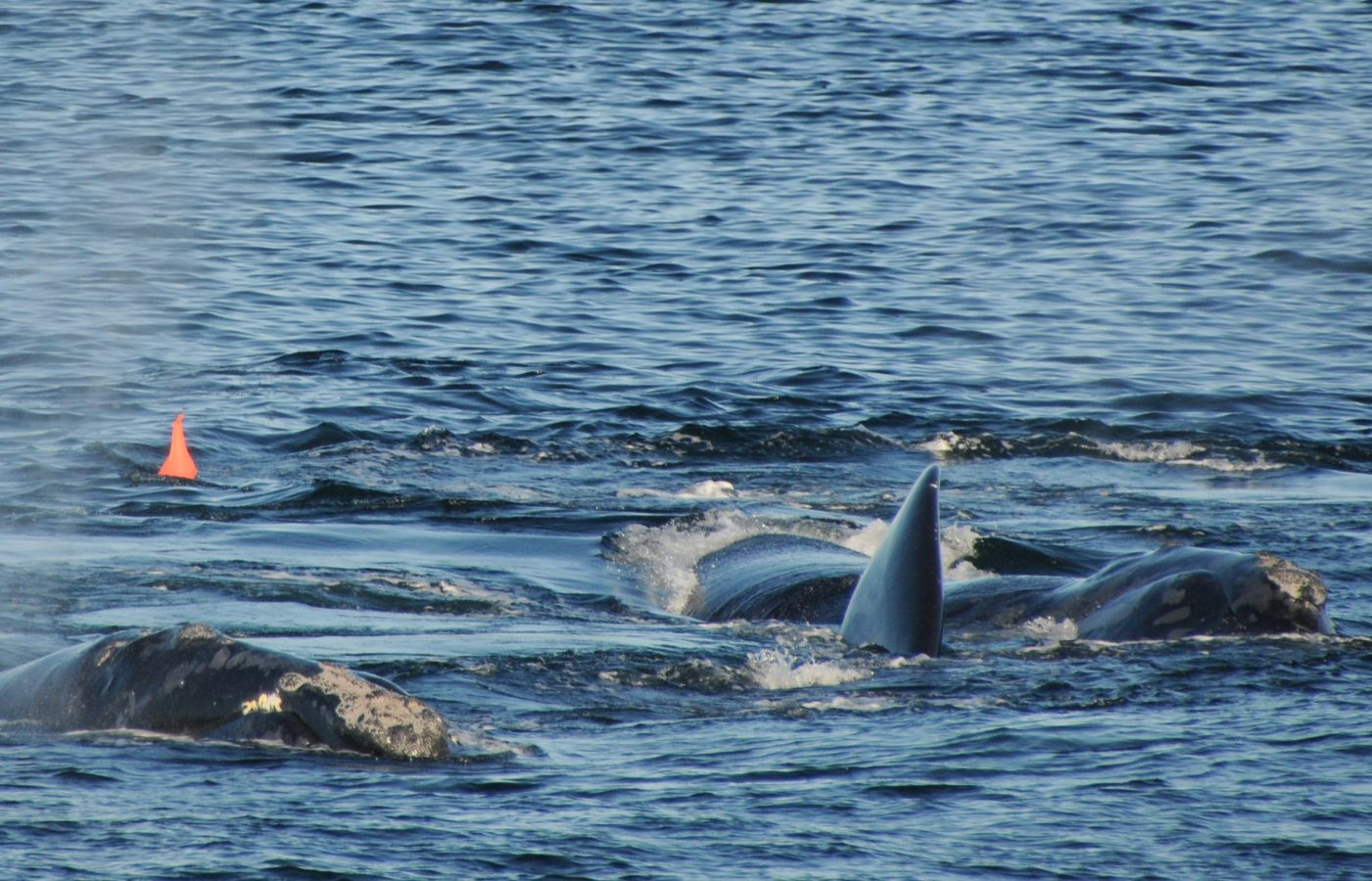 A group of whales near the sonobuoy