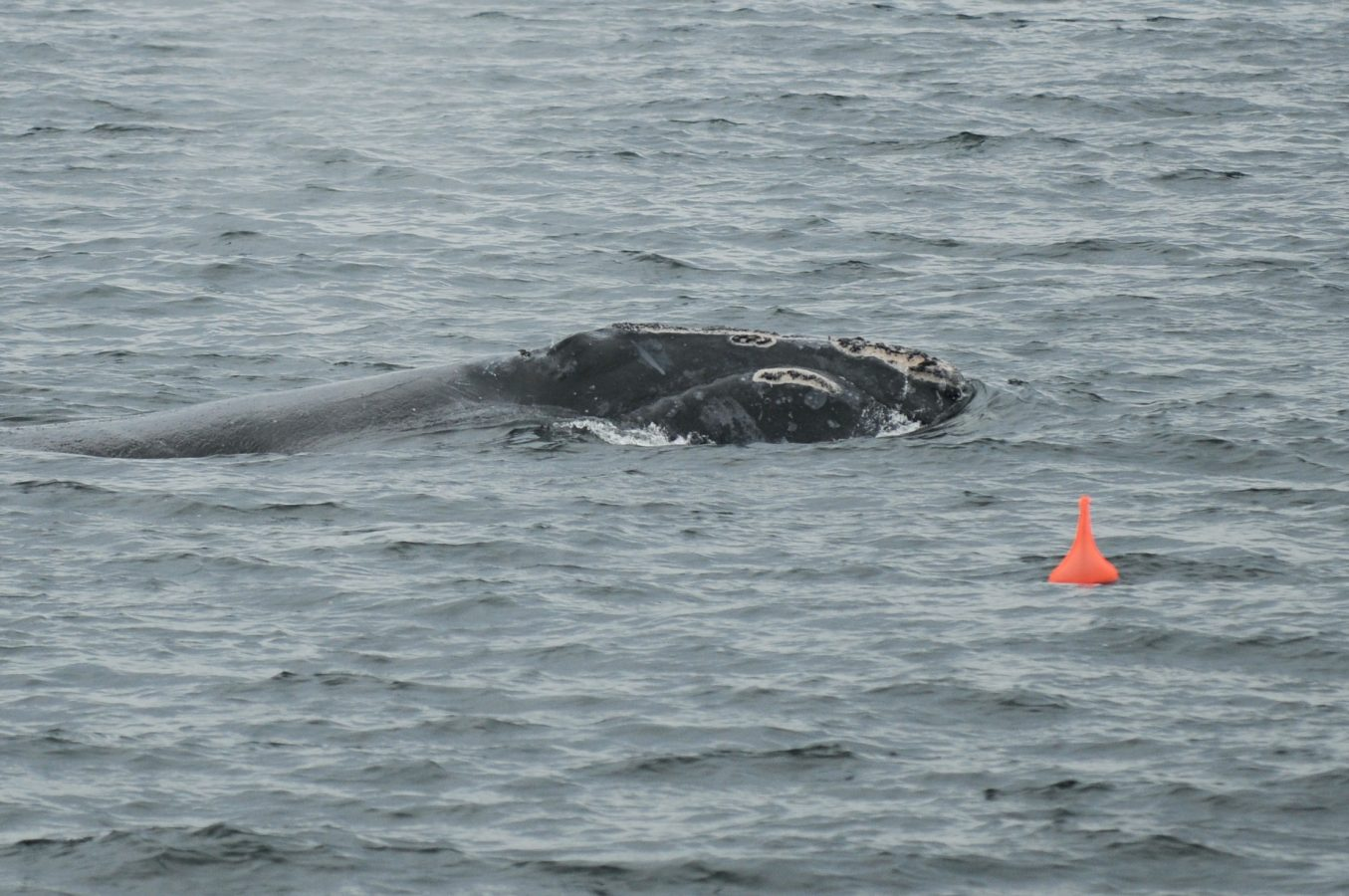A right whale swims past the sonobuoy.