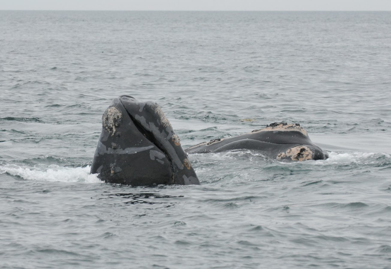 North Atlantic right whales #3650 and #3790