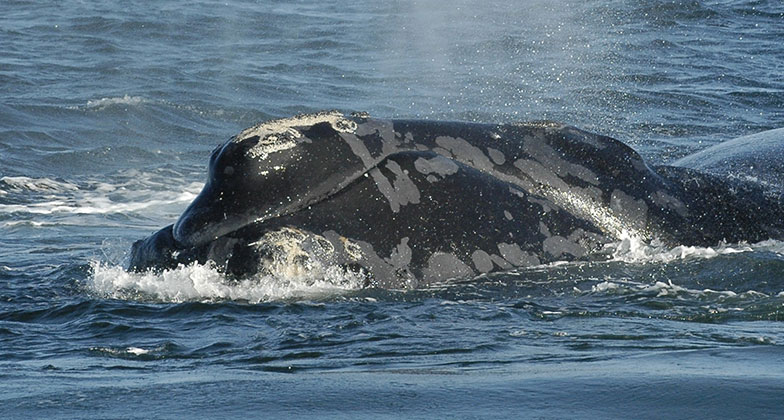 Right whale named Boomerang