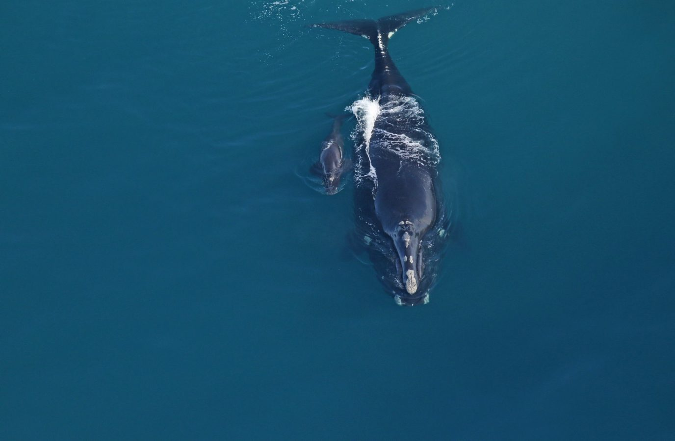 First North Atlantic right whale calf of 2020 calving season sighted