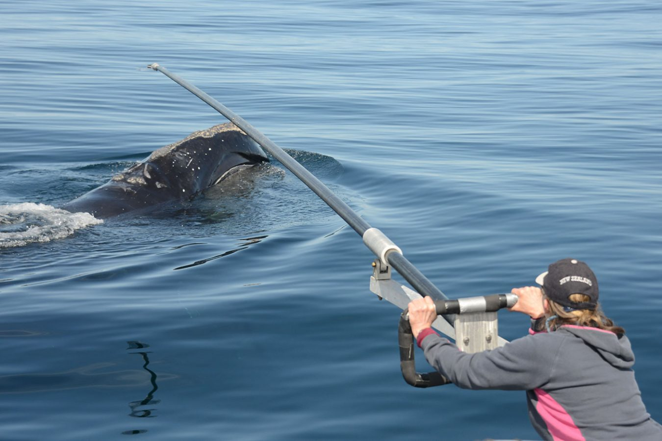 Pregnant right whale blow hole sampling