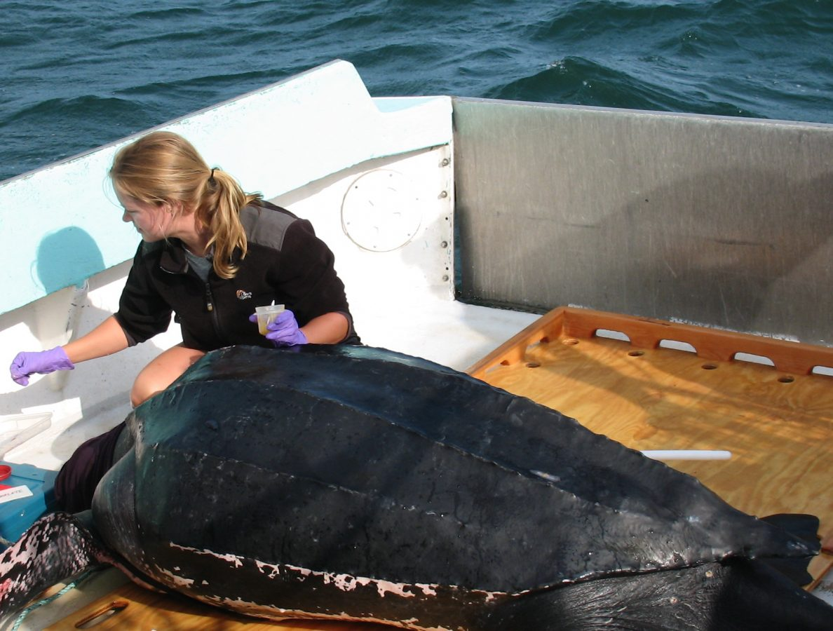 Kara Dodge tags a leatherback sea turtle.
