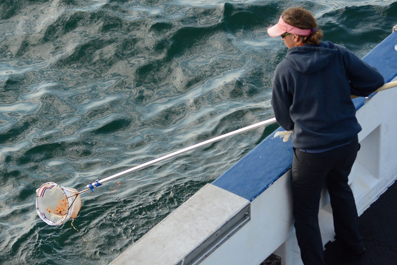 Using the net to collect right whale Harmonia's poop