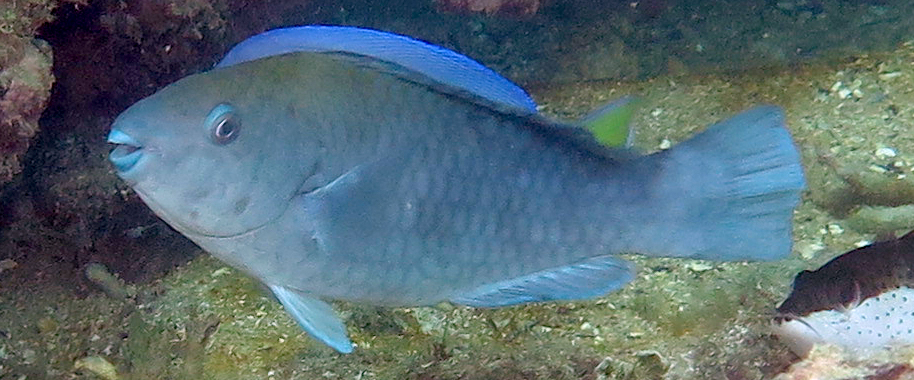 Greenback Parrotfish