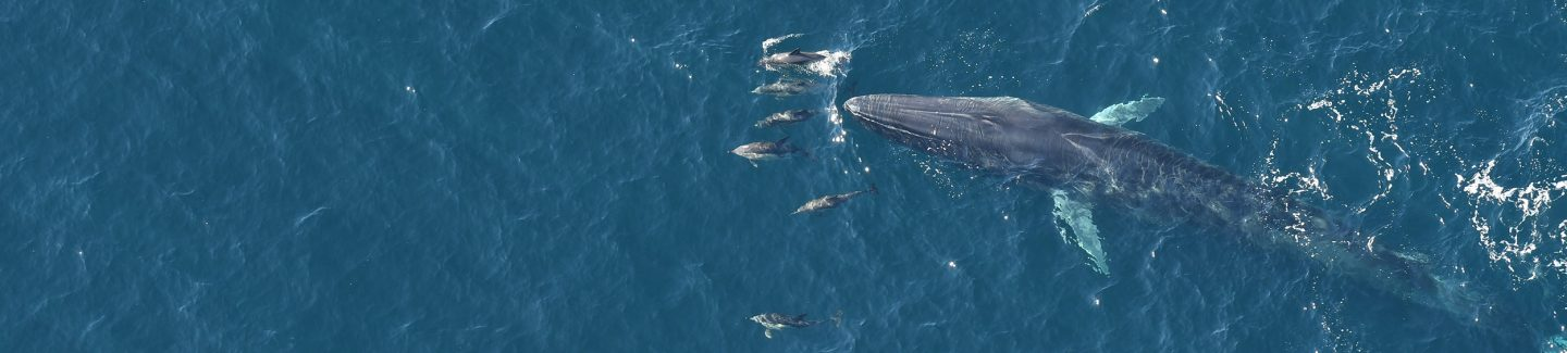 Fin whale and common dolphins