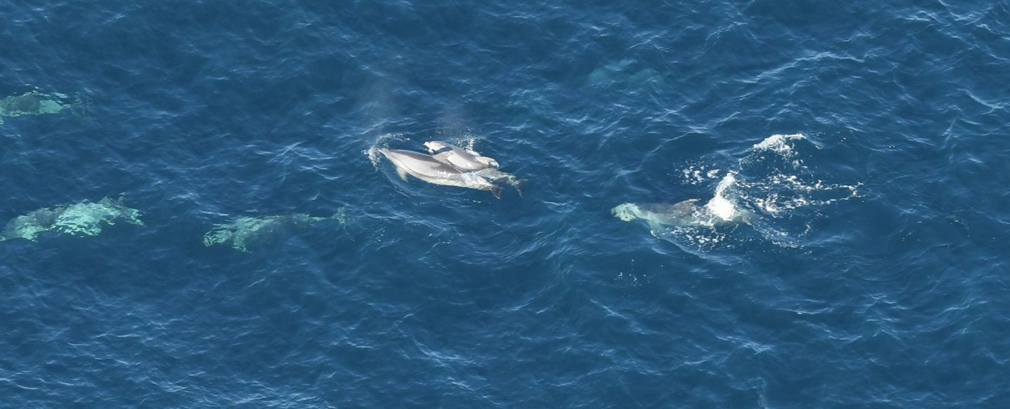 Striped dolphin with calf