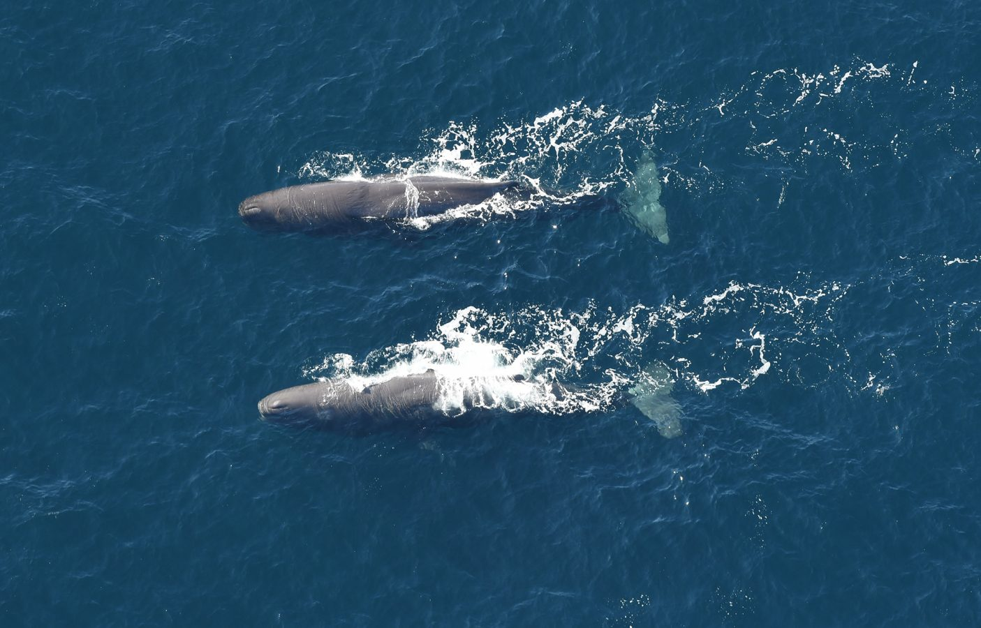 pair of sperm whales