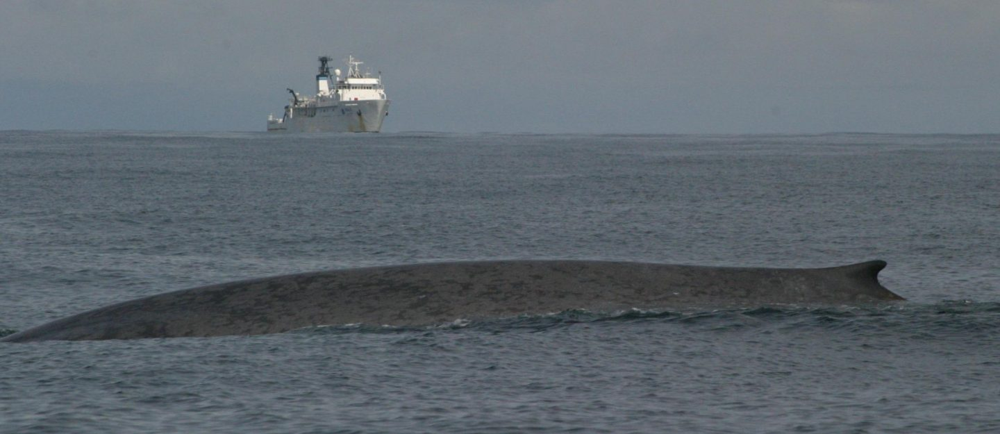 a blue whale swims in front of a ship in the Pacific Ocean.