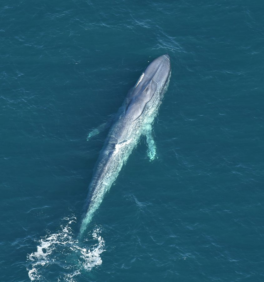 second blue whale sighted