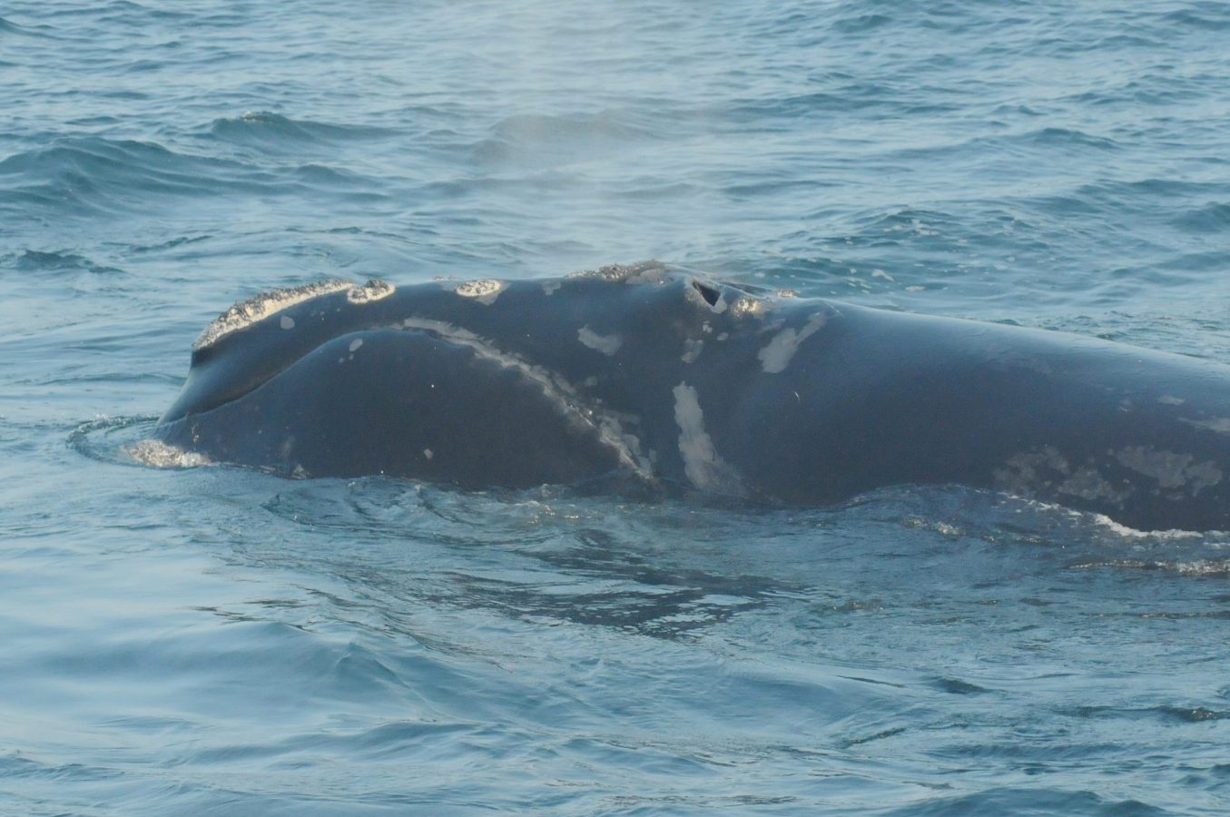 Lone Star North Atlantic right whale