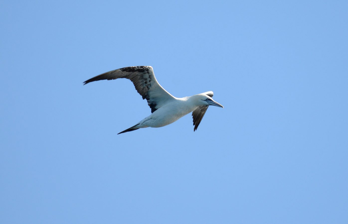 Northern Gannet using an aerial perspective to search for fish.