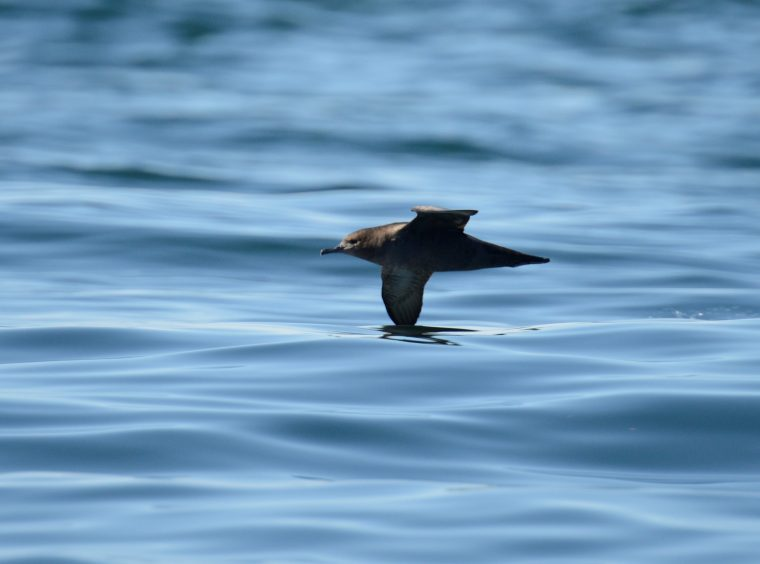"Sooty Shearwater ""shearing"" the surface of the water."