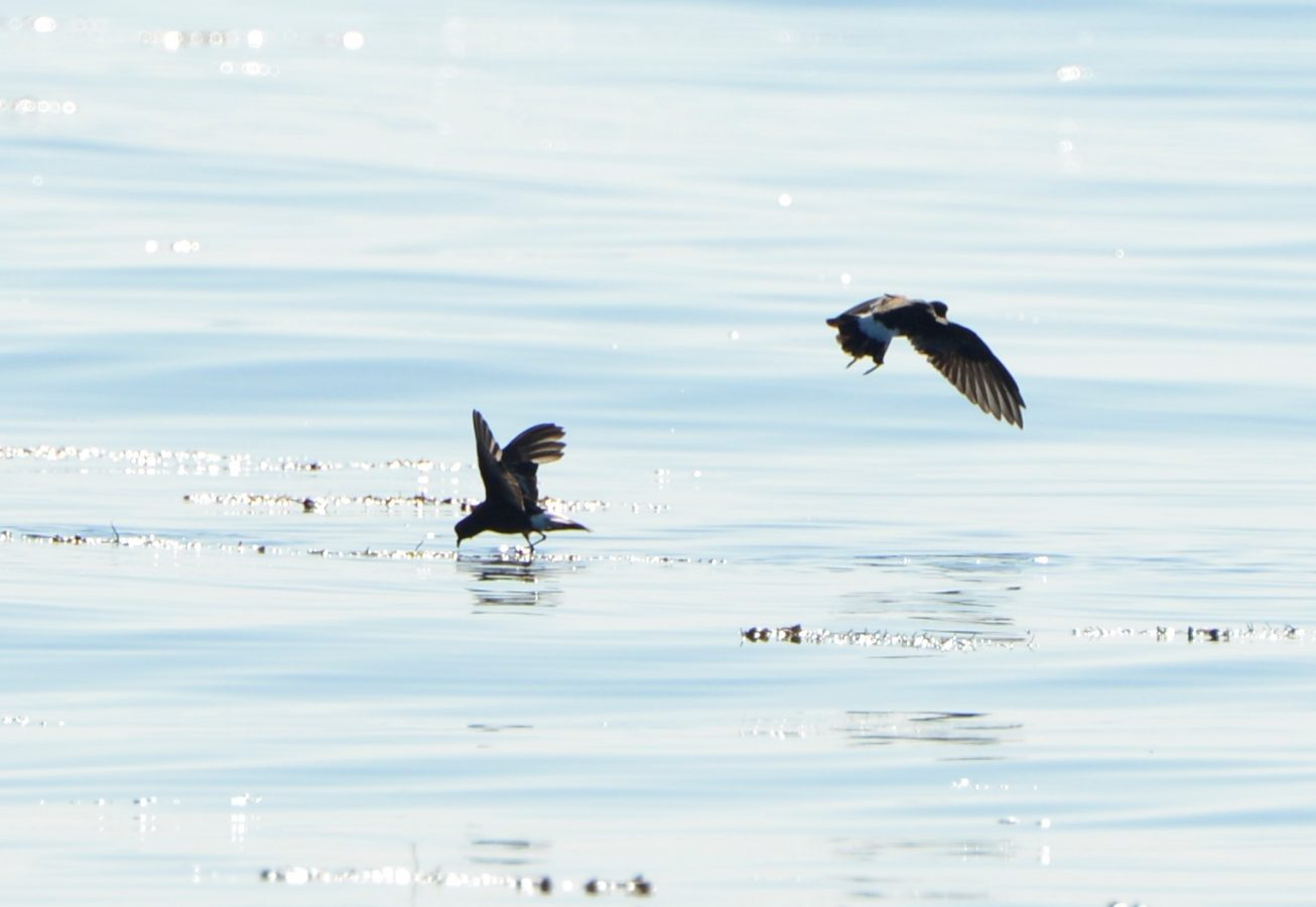 Wilson's Storm Petrels tip-toeing on the surface in search of plankton.