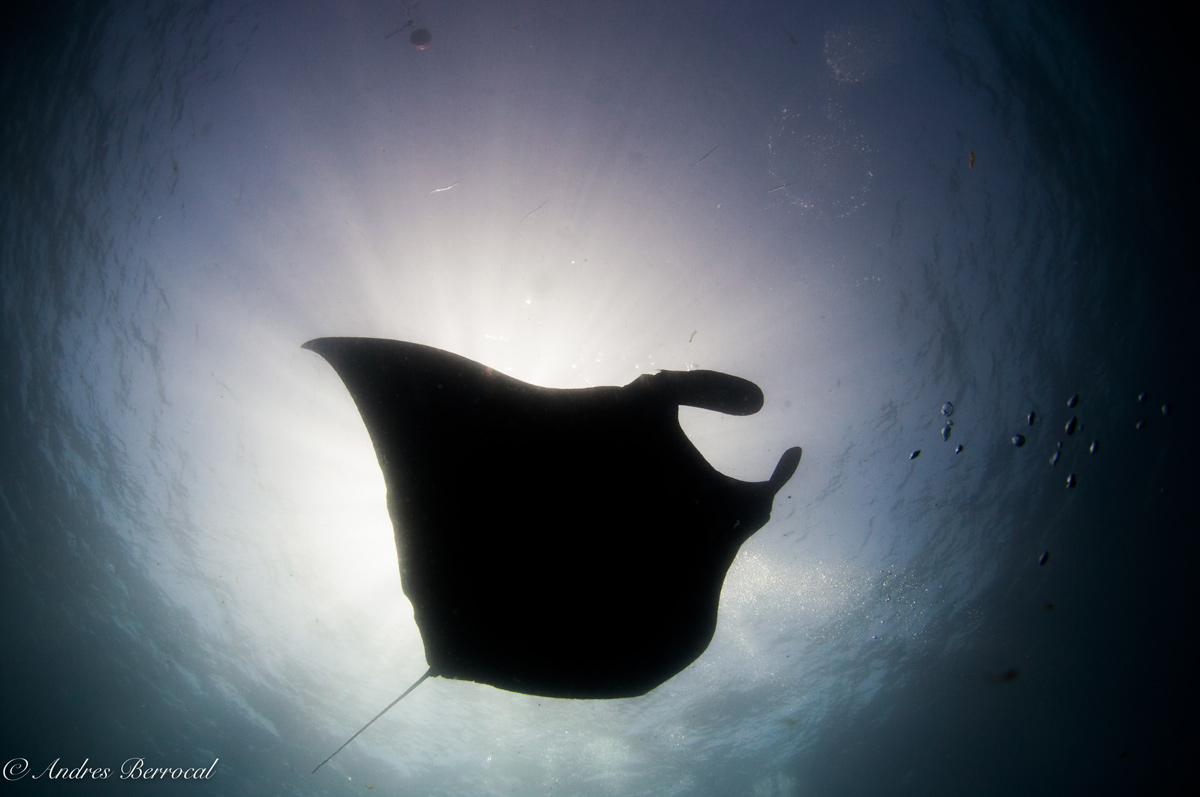 A giant manta in Catalinas Islands swimming over our bubbles