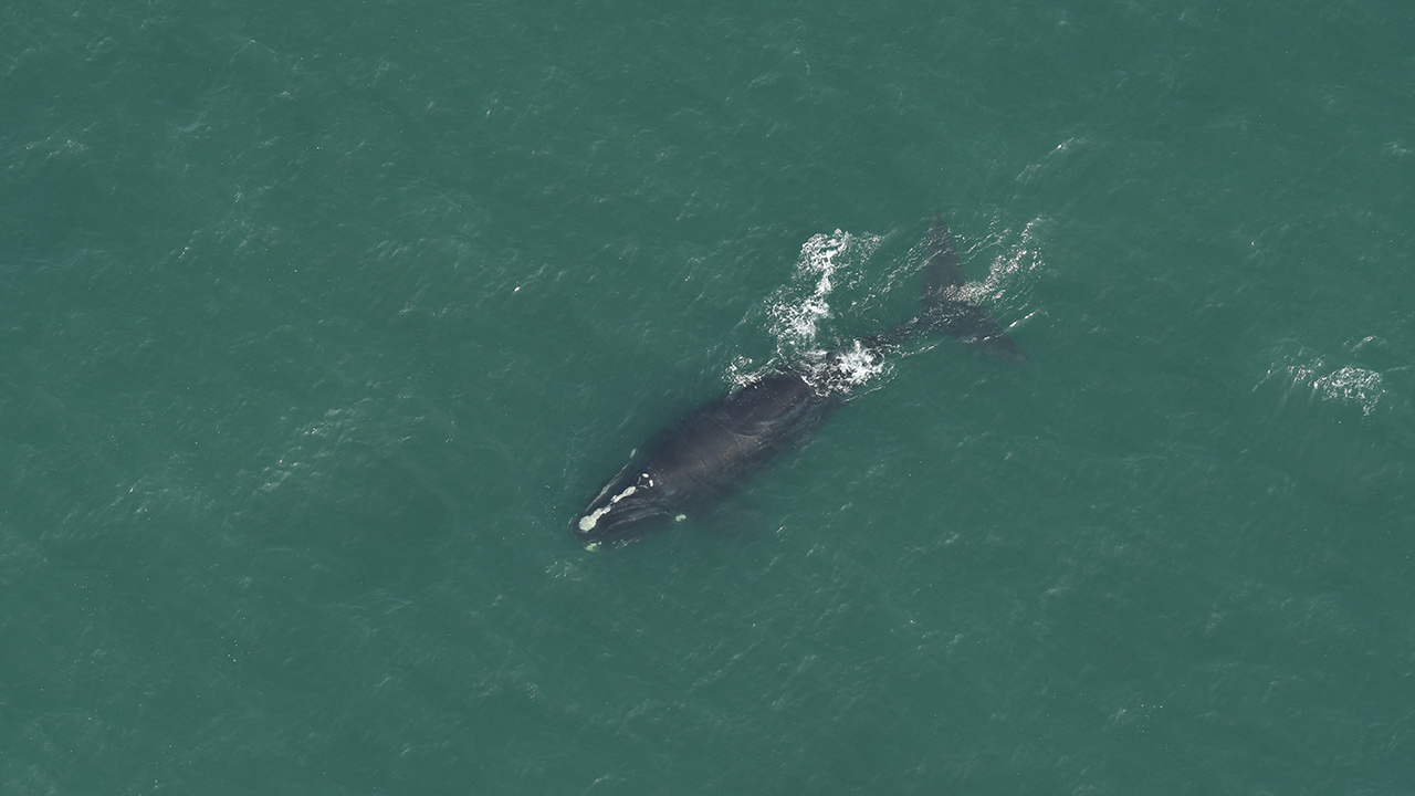 Right whale seen from aerial survey