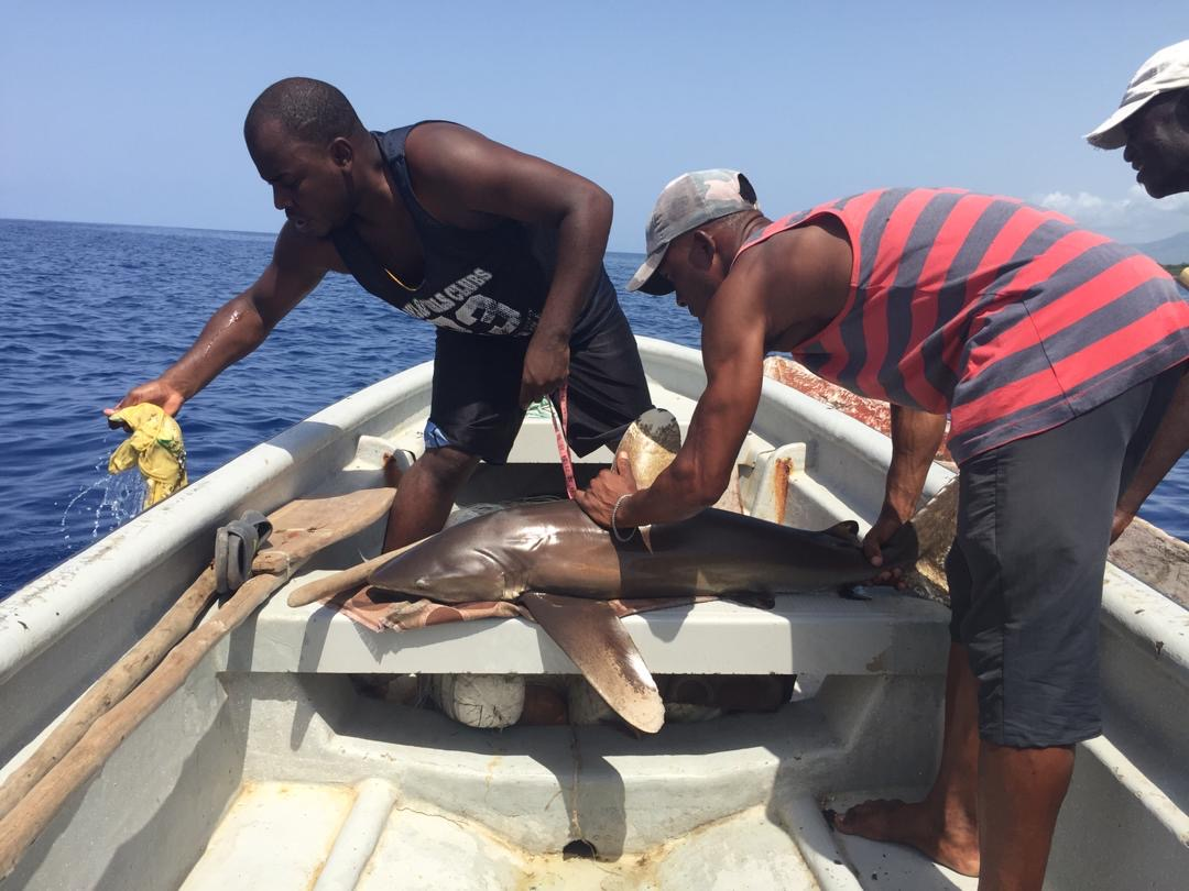 Our team, including local fishermen, helping measure, remove the hook and release a juvenile oceanic whitetip shark