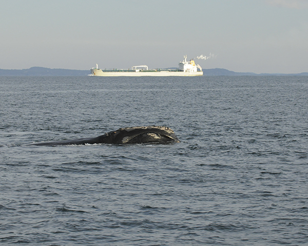 right whale with ship in background