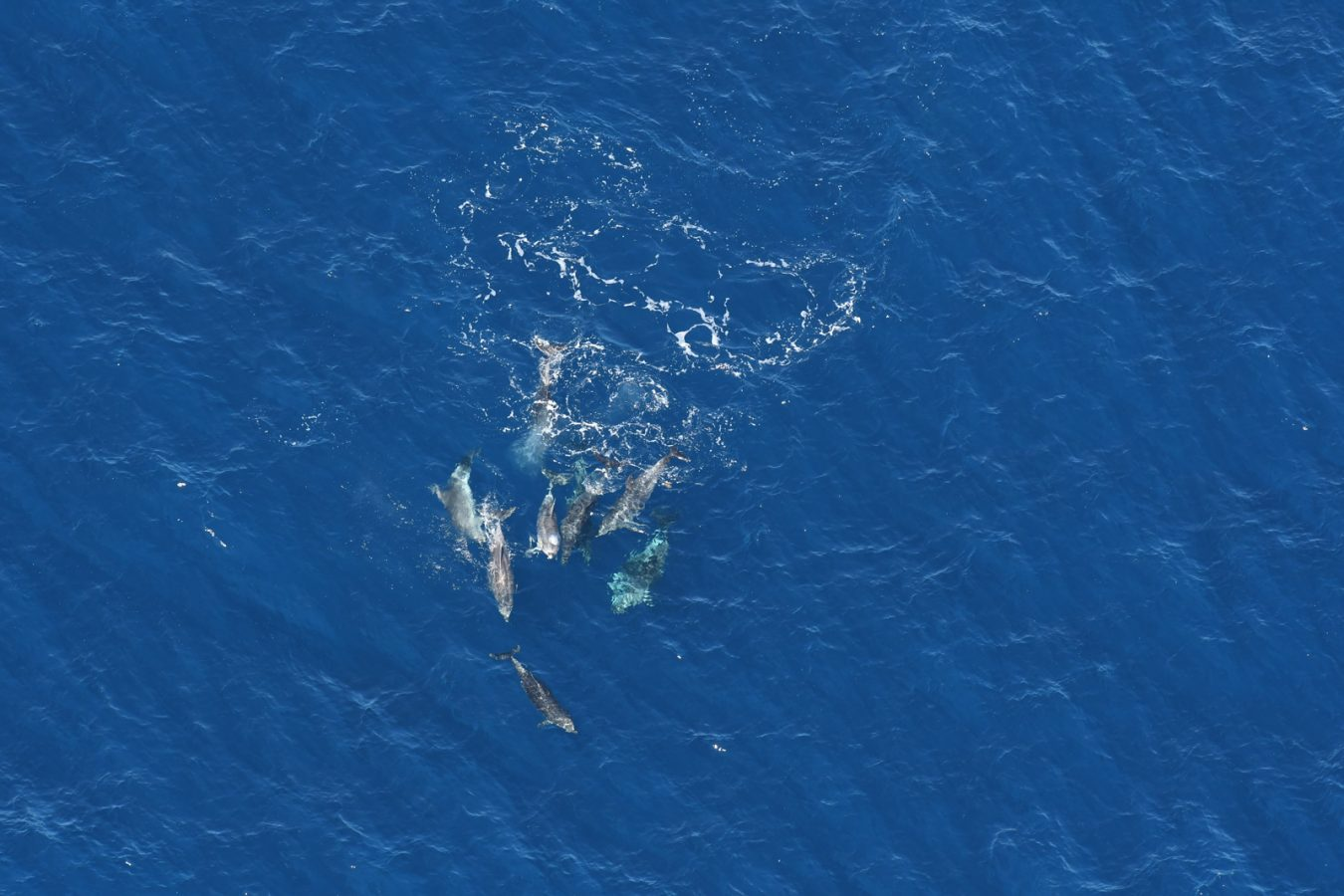 A group of bottlenose dolphins roll and splash at the surface.