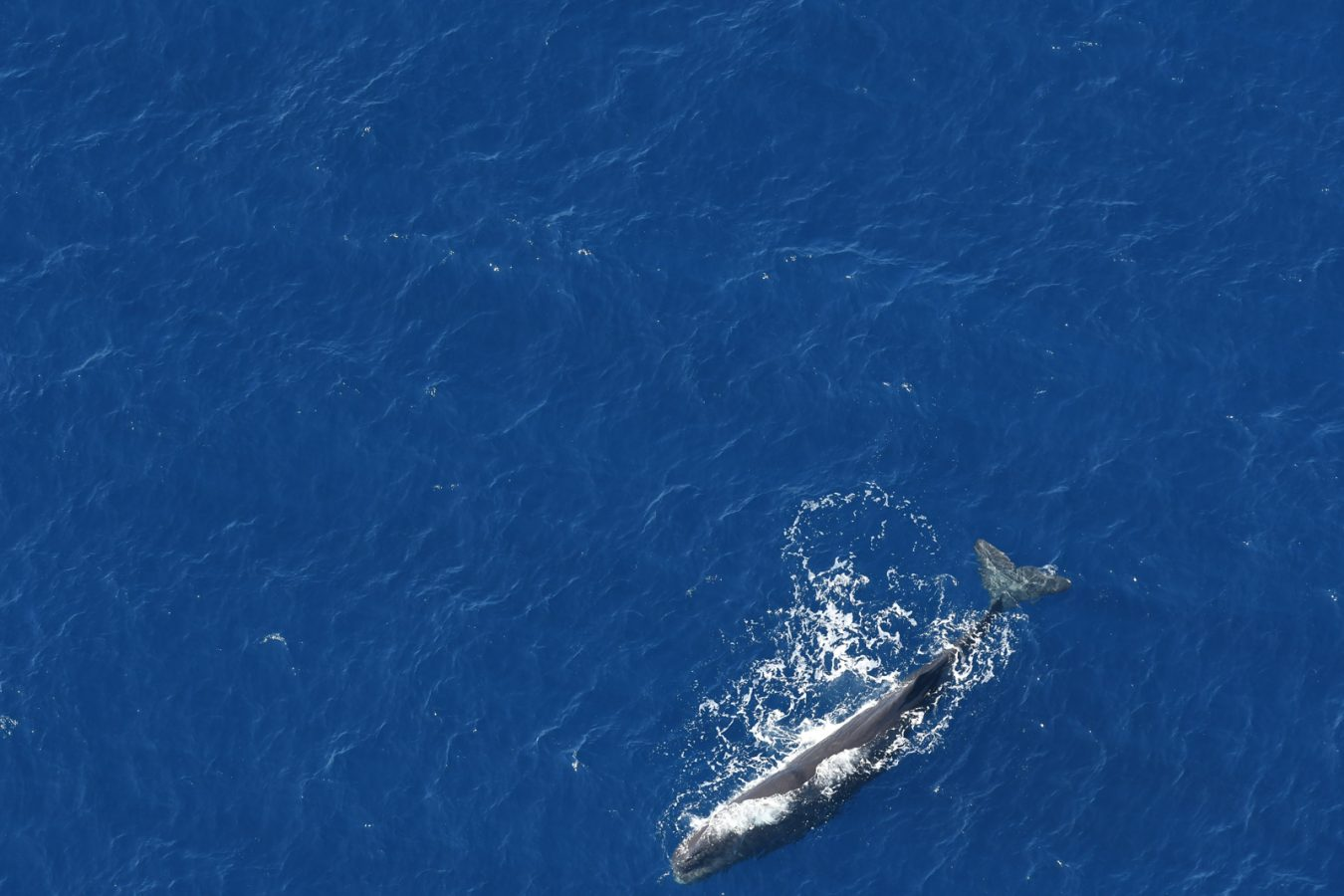 A sperm whale rests at the surface between dives.