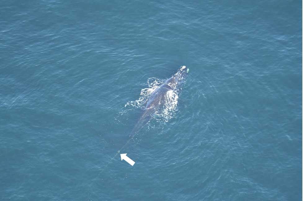 Right whale catalog #2310