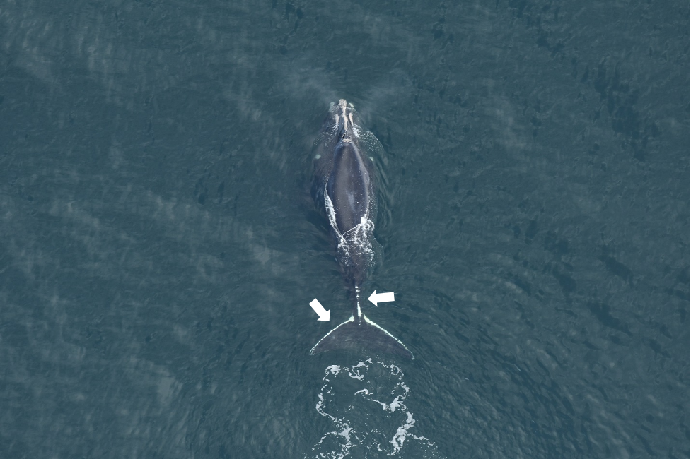 Right whale catalog #2810 with significant white scarring on the fluke and peduncle from an entanglement