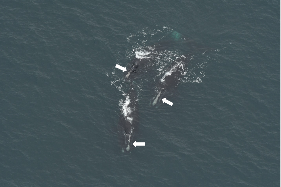 Three right whales with visibly different callosity patterns