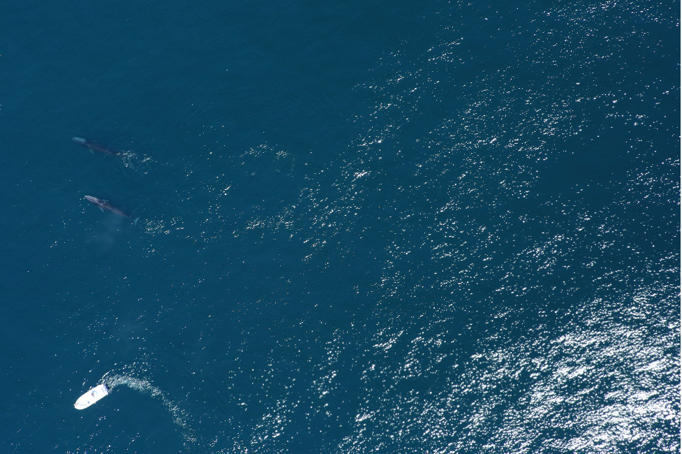 Two fin whales